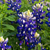 Wildflowers in Texas : Texas Bluebonnets and Indian Paintbrush flowers.